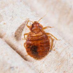 A Quoi Ressemble Une Punaise De Lit Le Luxe Лучших изображений доски Bed Bugs 13