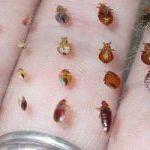 Comment éradiquer Les Punaises De Lit Joli Insecte Puce Archives Page 44 Sur 59 Ecole Sante
