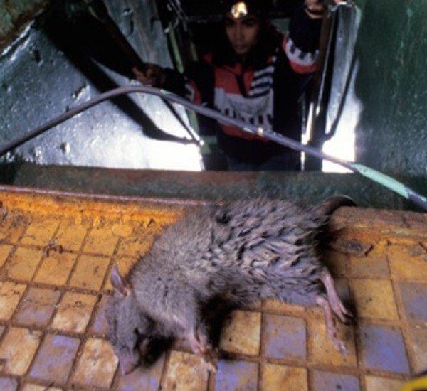 Comment Tuer Des Punaises De Lit Génial Ment Tuer Les Rats Dans Le Jardin Beautiful Musaraigne