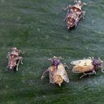 Comment Viennent Les Punaises De Lit De Luxe Des Nouvelles Des Insectes Les épingles De 2010