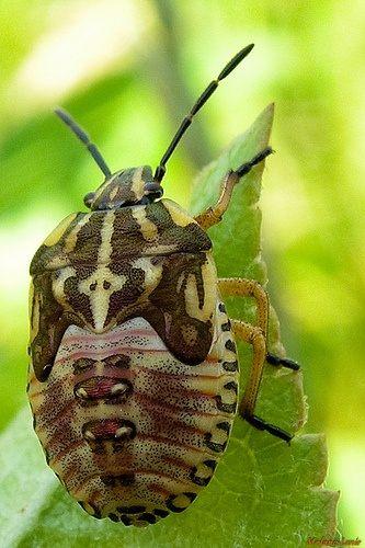 Entreprise Punaise De Lit Belle 17 Best Insecte Images On Pinterest