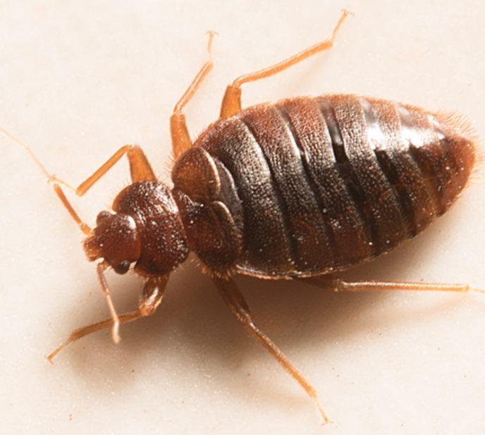 Insecticide Punaise De Lit Fraîche Punaises De Lit Matelas La Punaise De Lit Charmant Roi Matelas