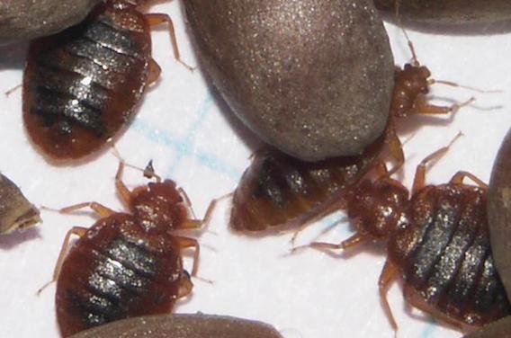 Insecticide Punaise De Lit Joli Insecticide Punaise De Lit Carrefour Simple Bande Englue Pour