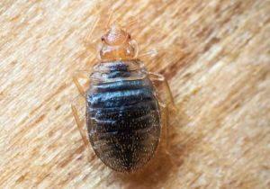 Insecticide Punaise De Lit Pharmacie Charmant Kapo Choc Punaise De Lit Produit Anti Punaise De Lit Pharmacie