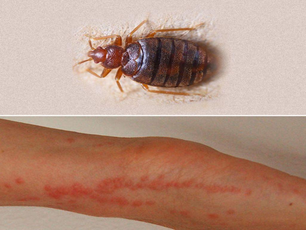 Insecticide Punaise De Lit Pharmacie Inspirant Insecticide Punaise De Lit Carrefour Simple Bande Englue Pour