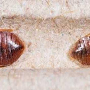 Insecticide Punaise De Lit Pharmacie Unique Insecticide Punaise De Lit Pharmacie Ment Traiter Des Piqures De