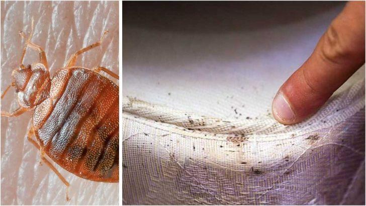 Puce Ou Punaise De Lit Insecticide Punaise De Lit