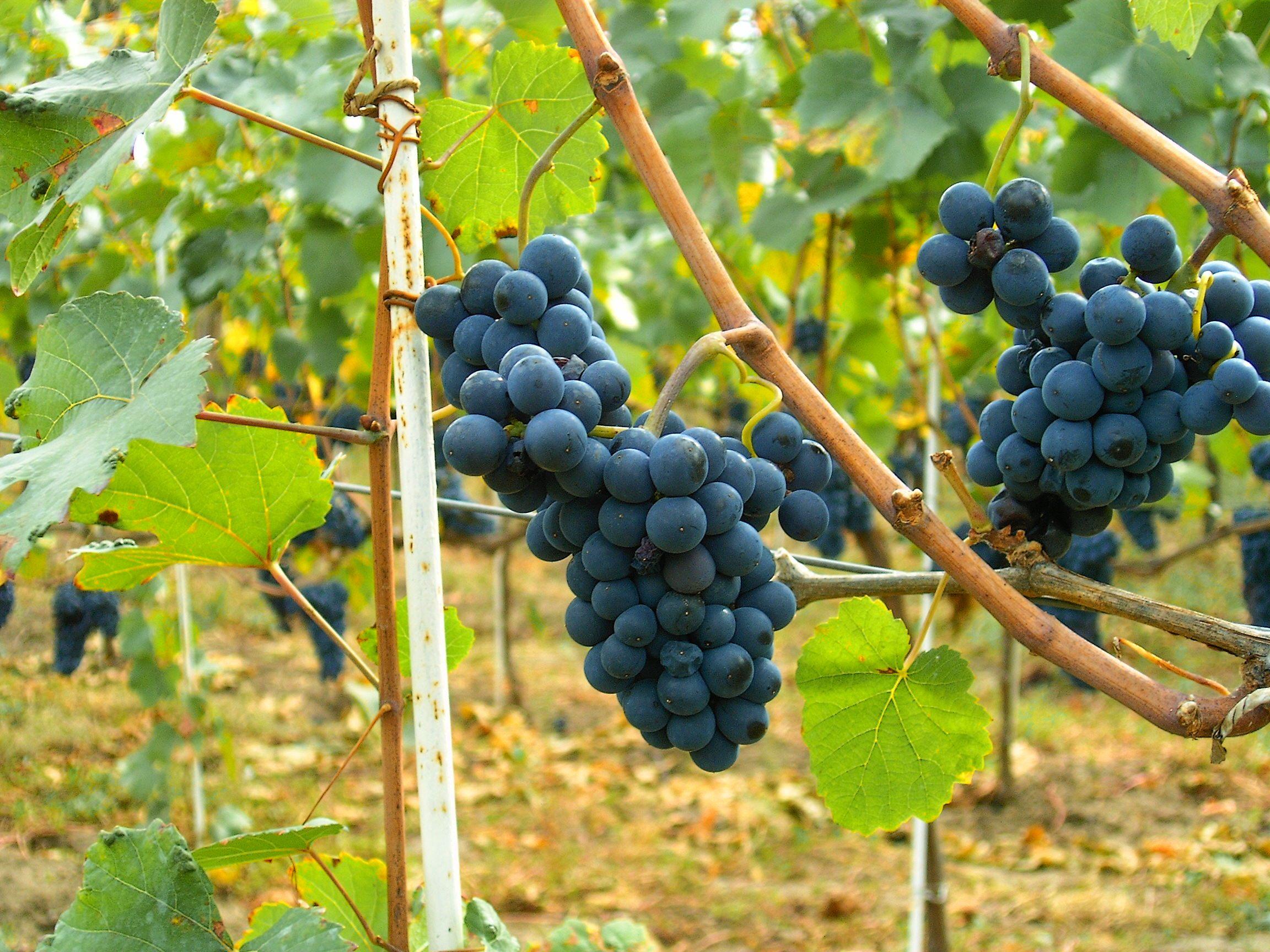 Lit 2 Places Noir Agréable Pinot Noir