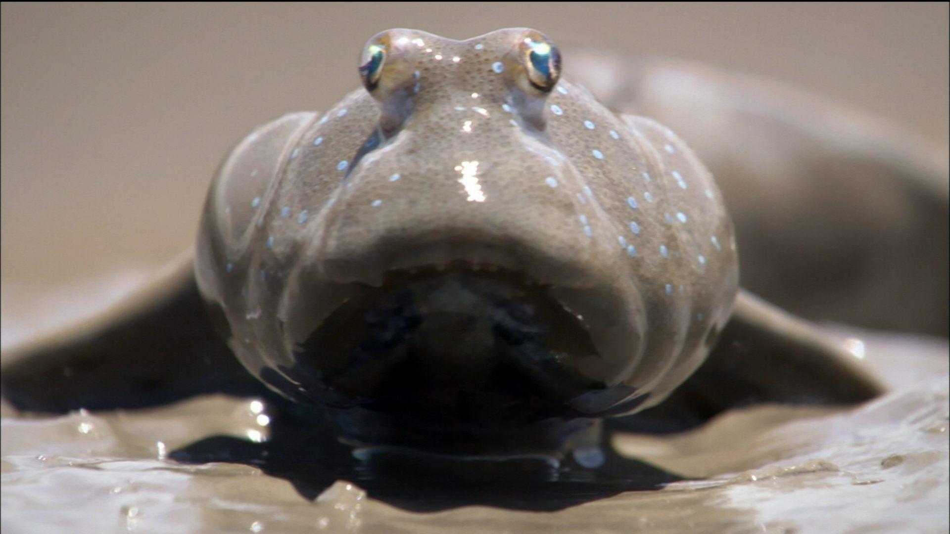 Lit Gain De Place Adulte Élégant Animal Misfits Mudskippers Search for A Meal Nature