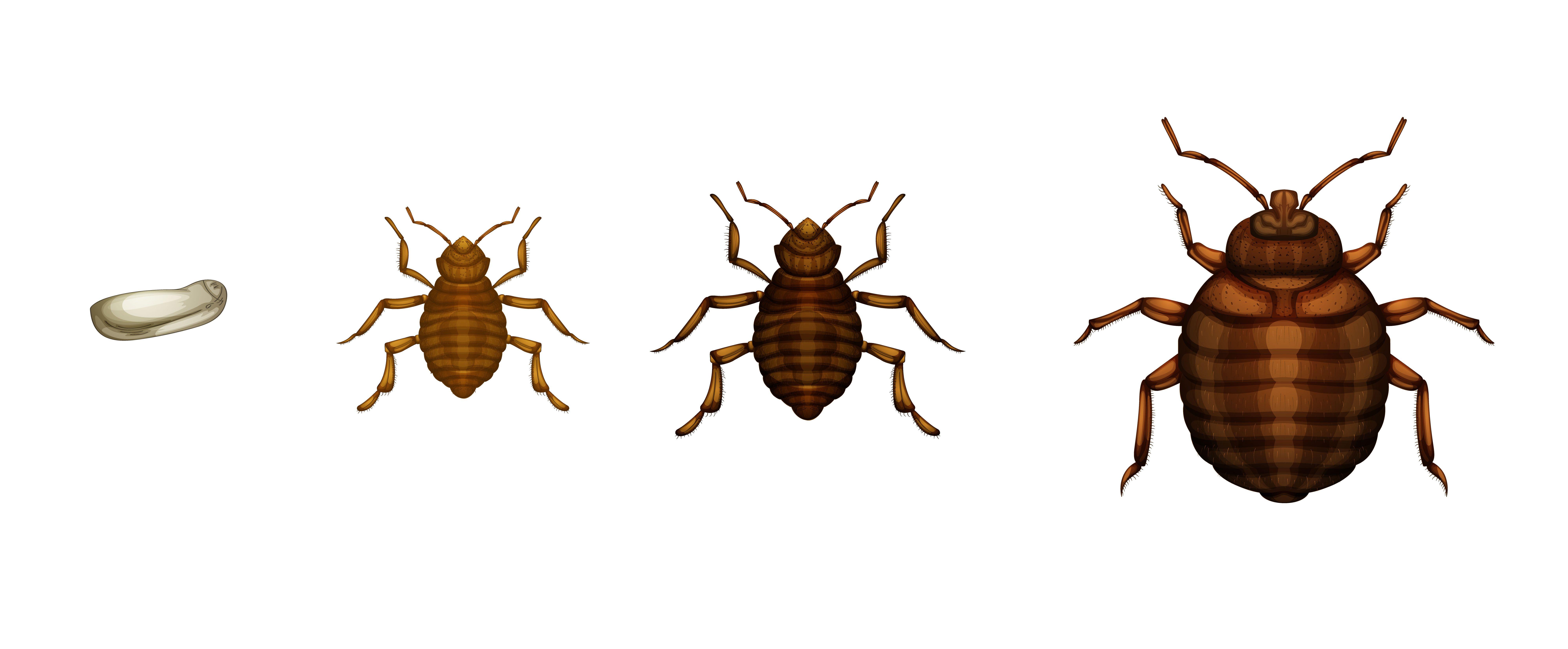 Oeuf De Punaise De Lit De Luxe 39 Classique Insecte De Lit – Faho forfriends