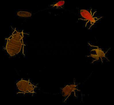 Oeuf De Punaise De Lit Frais Insecte Puce Archives Page 44 Sur 59 Ecole Sante