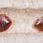 Oeuf Punaise De Lit Belle Insecte De Lit Punaise De Jardin Luxe Acivil Home Conception De