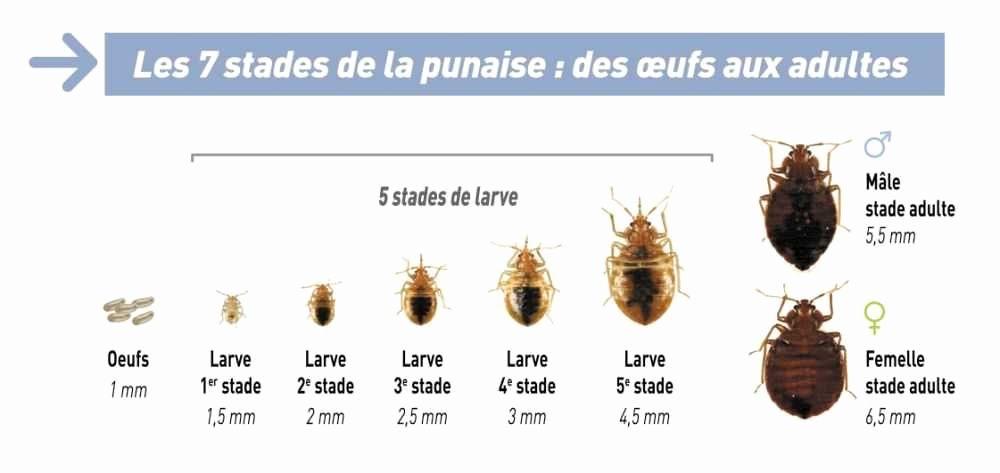 Photo Oeuf De Punaise De Lit Inspiré Punaise Des Bois Dans Maison Meilleur De Punaise Des Lits Meilleur