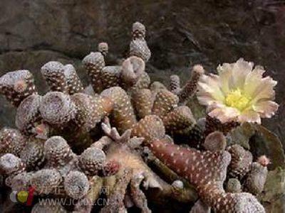 Prédateur Punaise De Lit Inspiré Puna Subterranea 无中文名 和 Bonnieae一样 为圆形至椭圆型种 花色