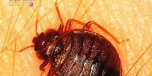 Punaise De Lit Bouton De Luxe Insecte Puce Archives Page 44 Sur 59 Ecole Sante