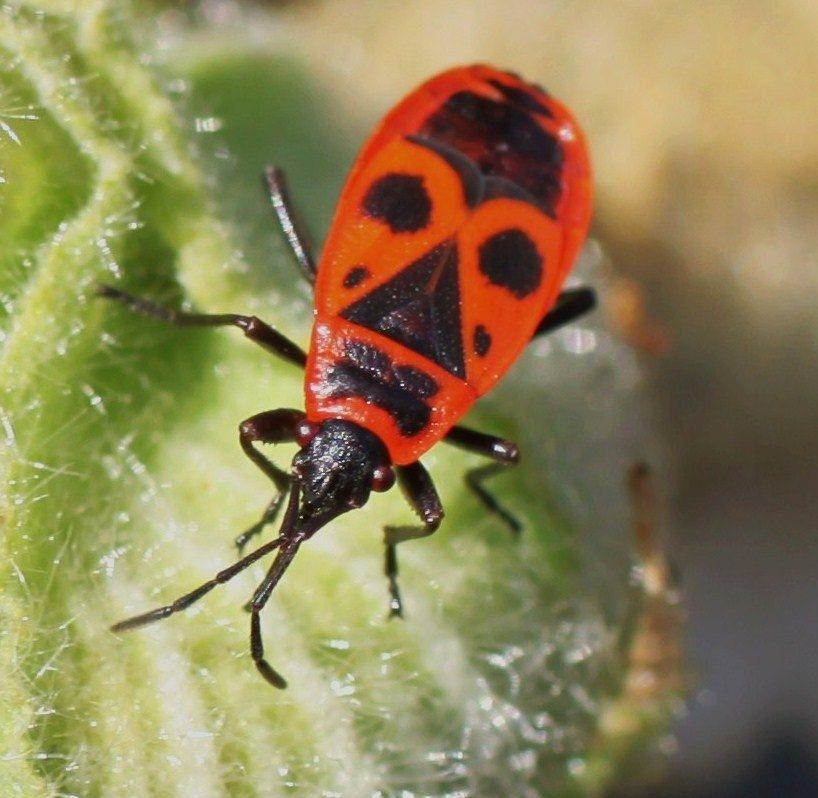Punaise De Lit Cause Unique Punaise De Jardin Inspirant Gendarme Insecte — Wikipédia