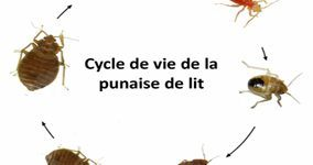 53 Génial Punaise De Lit Chat Images