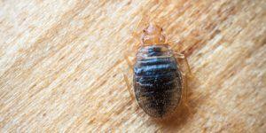 Punaise De Lit Comment Les Tuer Impressionnant Insecte Puce Archives Page 44 Sur 59 Ecole Sante