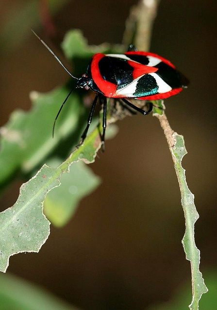 Punaise De Lit Marseille Frais 17 Best Insecte Images On Pinterest