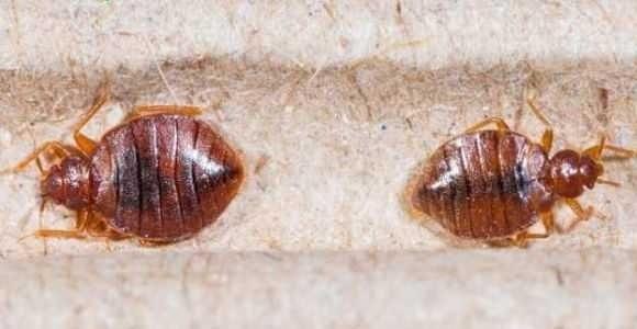 Punaise De Lit Oeuf Bel Insecte De Lit Punaise De Jardin Luxe Acivil Home Conception De