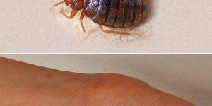 insecte puce Archives Page 44 sur 59 Ecole sante
