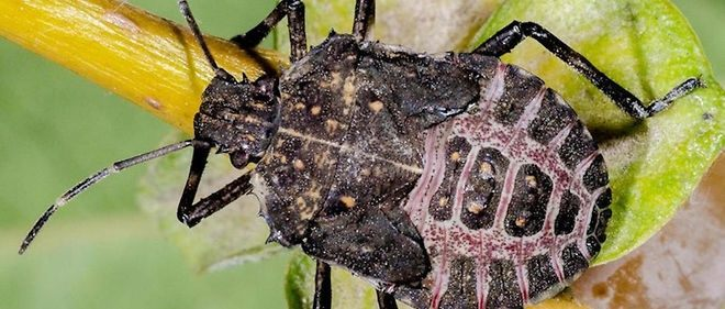 Punaise De Lit Wikipedia Inspirant Punaise De Jardin Inspirant Gendarme Insecte — Wikipédia