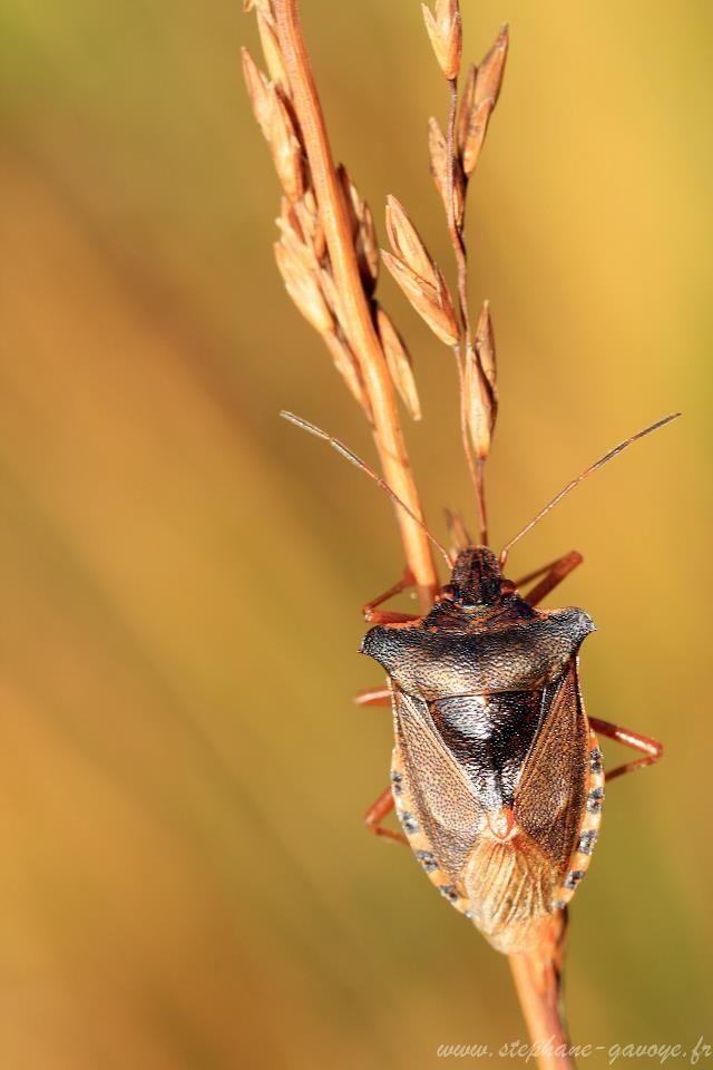 Punaise De Lit Wikipedia Joli 17 Best Insecte Images On Pinterest