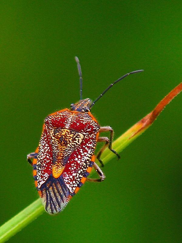 Punaise De Lit Wikipedia Magnifique 17 Best Insecte Images On Pinterest