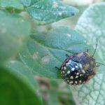 Punaise De Lit Wikipedia Nouveau 17 Best Insecte Images On Pinterest