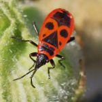 Punaise De Lit Wikipedia Unique Punaise De Jardin Inspirant Gendarme Insecte — Wikipédia