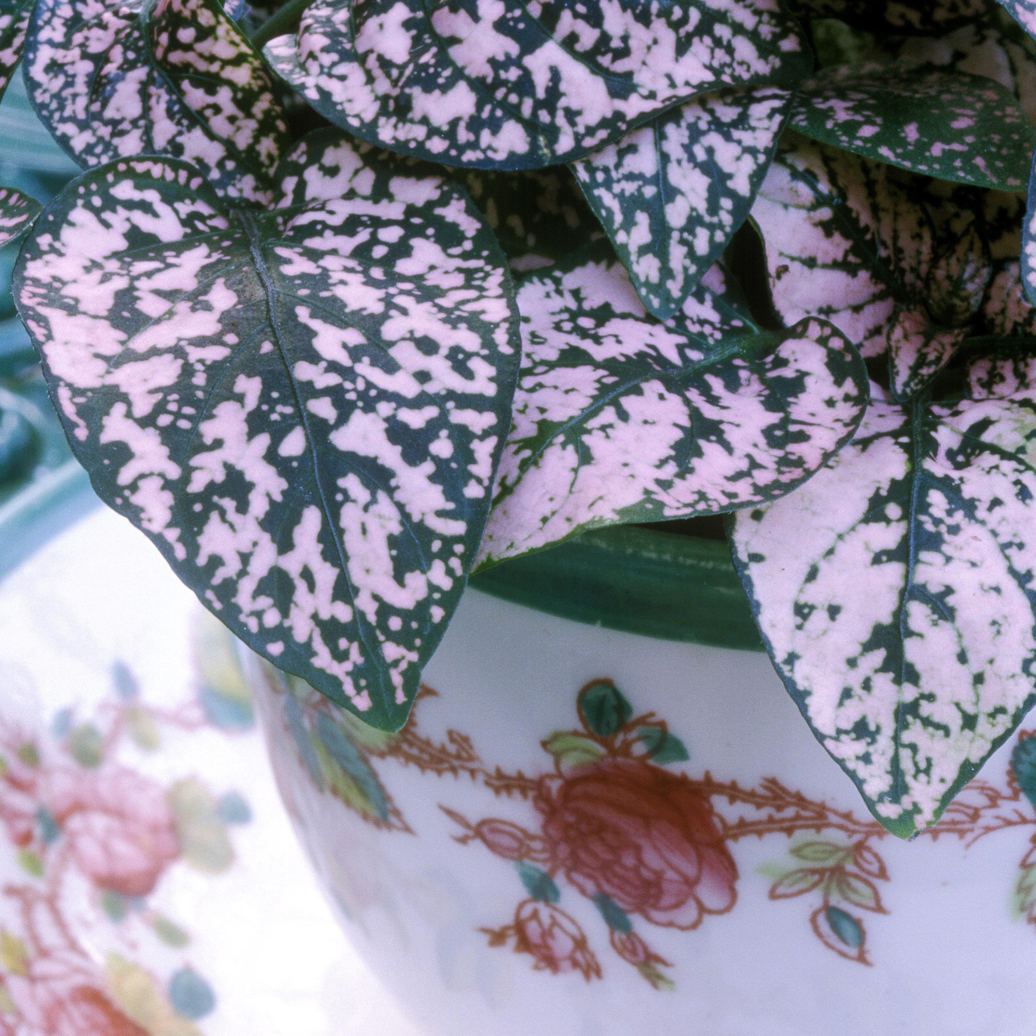 Tour De Lit Violet De Luxe Colorful Houseplants that aren T Hard to Grow