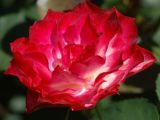 Tour De Lit Rose Agréable Types Of Roses by Name and Color