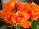 Tour De Lit Rose Génial Types Of Roses by Name and Color