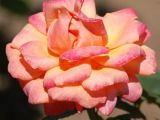 Tour De Lit Rose Inspirant Types Of Roses by Name and Color